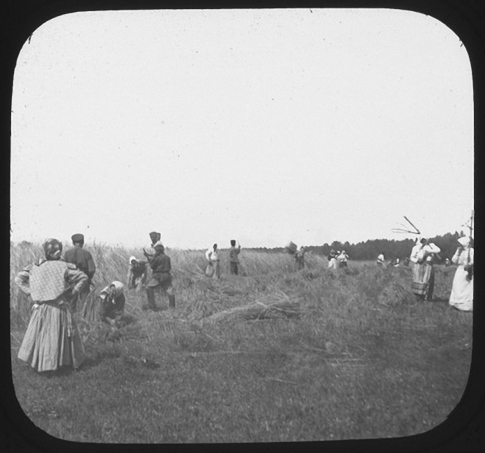Мужчины и женщины на уборке урожая в поле. Рыльково. Лето 1903 года
