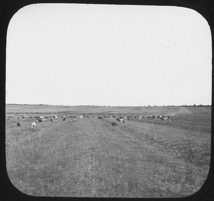 Коровы пасутся в поле. Лето 1903 года