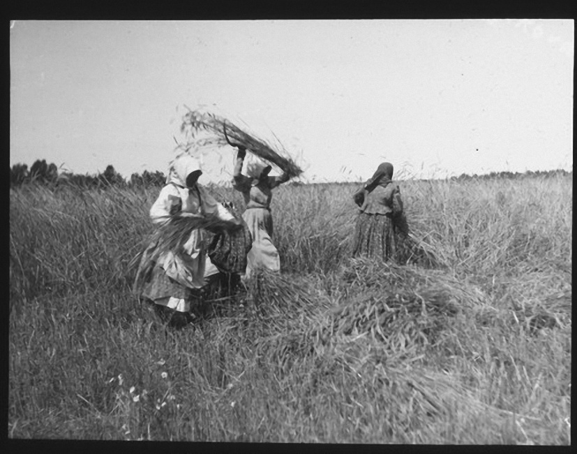Три женщины в поле пожинают урожай. Лето 1903 года